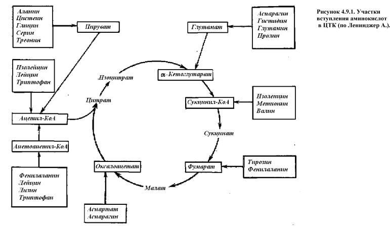 АК в организме
